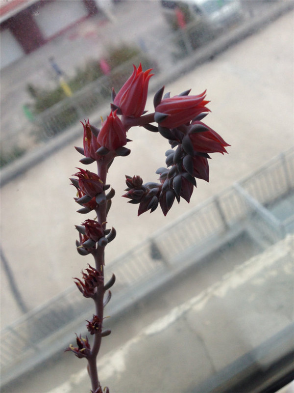 利比里亚开花