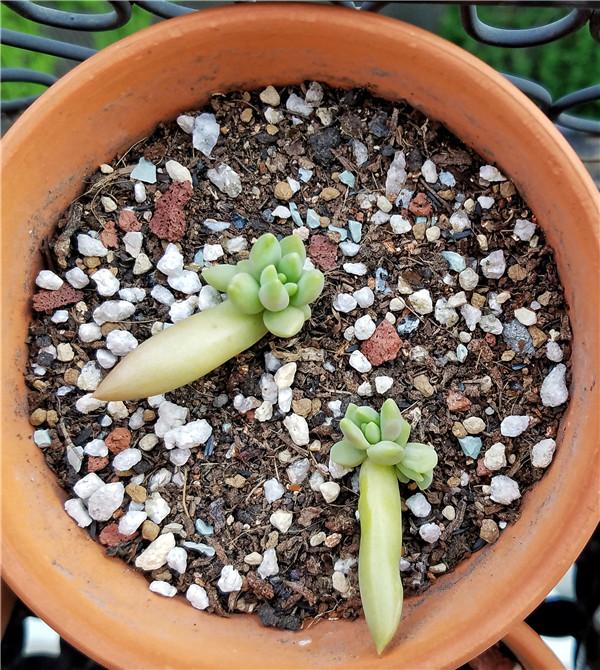 叶插苗的成长变化
