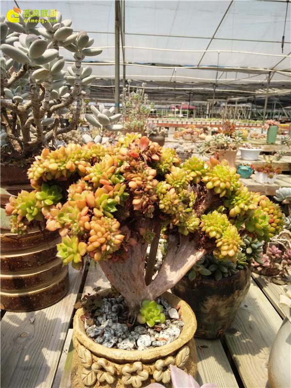 广州黑格多肉植物大棚