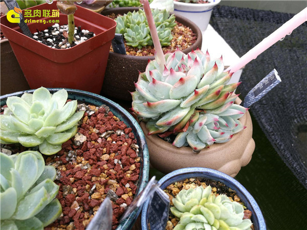 假云南的多肉植物