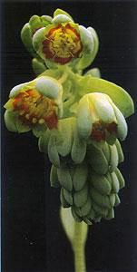 厚叶草属的布拉榭蒂的花