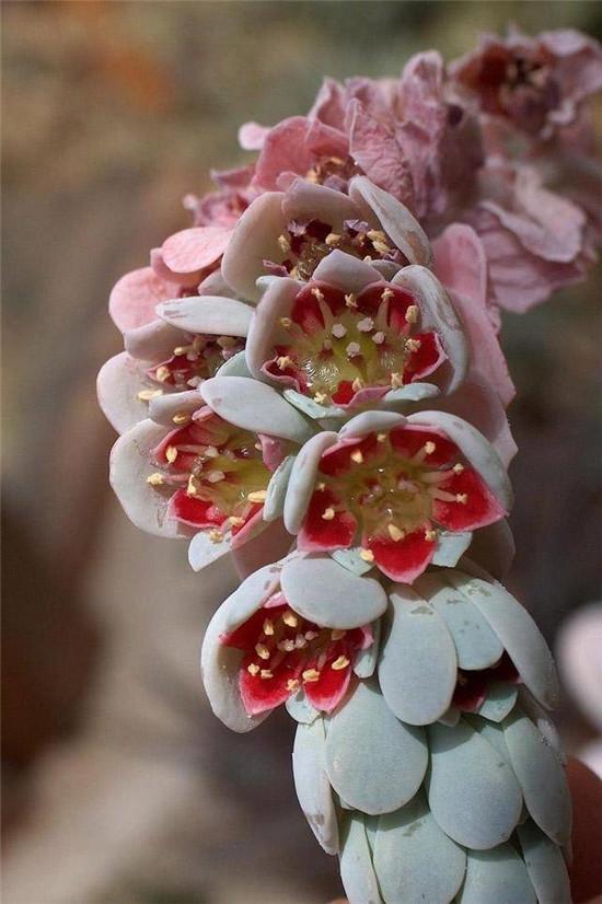 厚叶草属的月美人的花