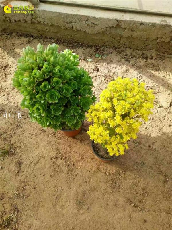 绿羊绒法师开花