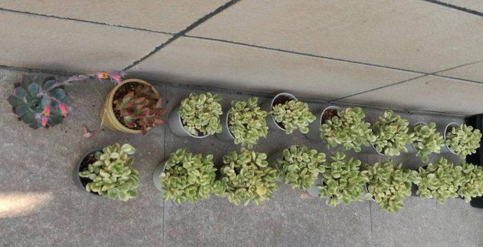 山东肉友家种植的多肉植物