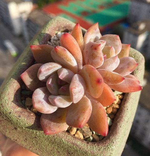 粉色系多肉植物雪天使
