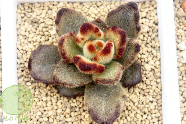 泰迪熊 (K. tomentosa 'Teddy Bear')