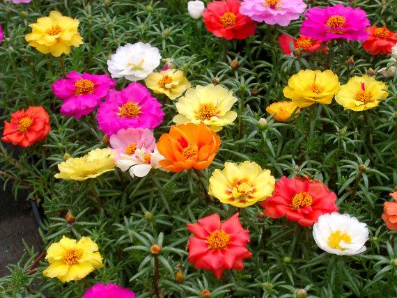 太阳花、半枝莲、松叶牡丹、死不了