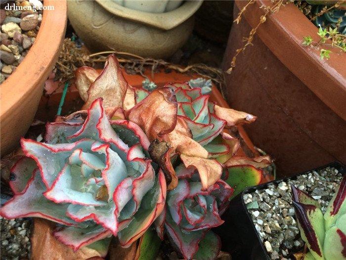 钢叶莲 Echeveria subrigida