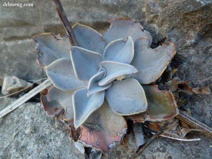 剑司 Echeveria strictiflora