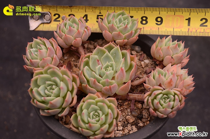 金币 Echeveria 'Gold Coin'(