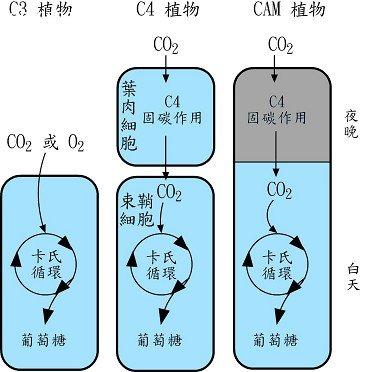 不同植物类型之光合作用路径比较