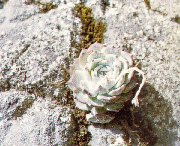 生长在Volcán de Tequila主峰的卡罗拉。