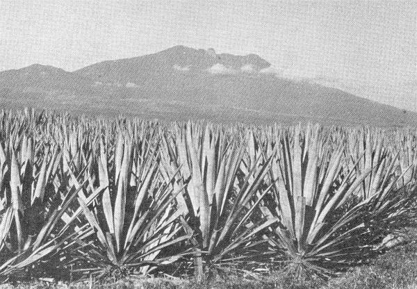 Tequila火山的熔岩地貌,全是龙舌兰