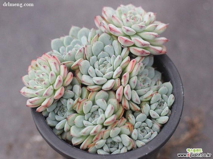 蓝姬莲 Echeveria blue minima