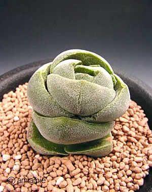 丽人 Crassula columnaris