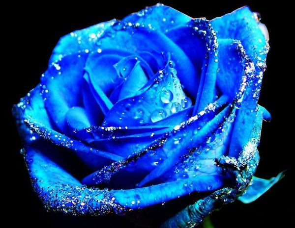 蓝色玫瑰/妖姬的真相