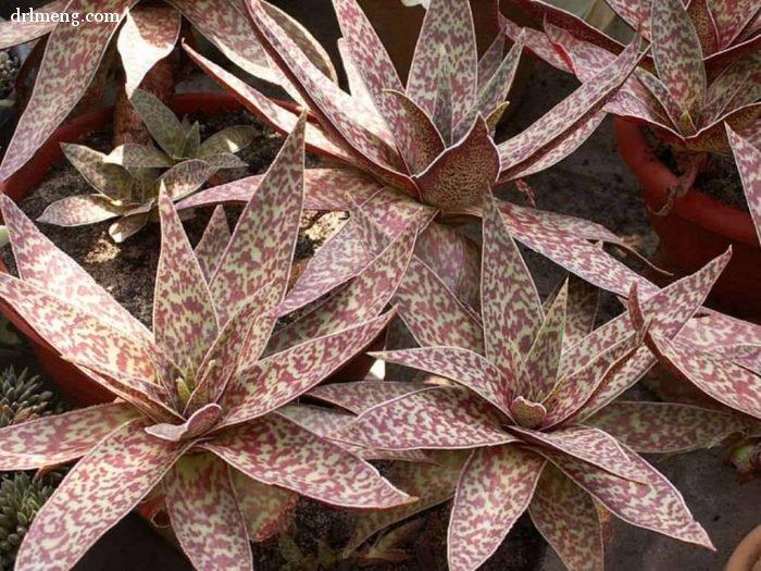 阿尔巴 crassula alba var. parvisepala