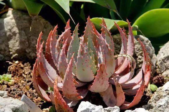 柏加芦荟 Aloe peglerae