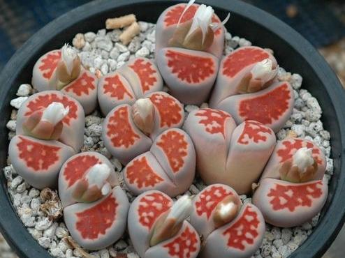 花纹玉系列—生石花园艺品种