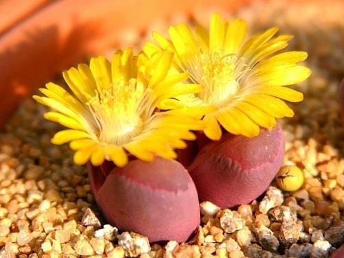 大内玉,红色的生石花