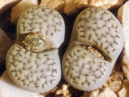 小列岛系生石花