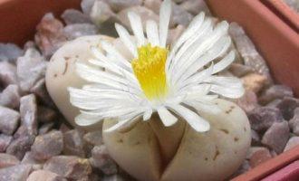 留蝶玉系,最像屁股的生石花,但难种