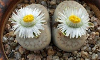 碧赐玉系,较难养的生石花