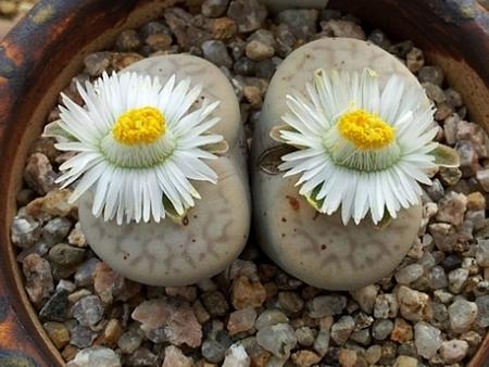 碧赐玉 L. vallis-mariae 'Valley Girl'