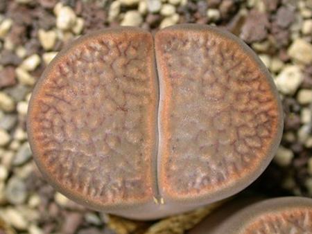 自然杂交的生石花品种