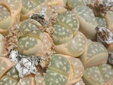 属内种间人工杂交系列生石花园艺品种