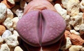 生石花属内人工杂交系列品种
