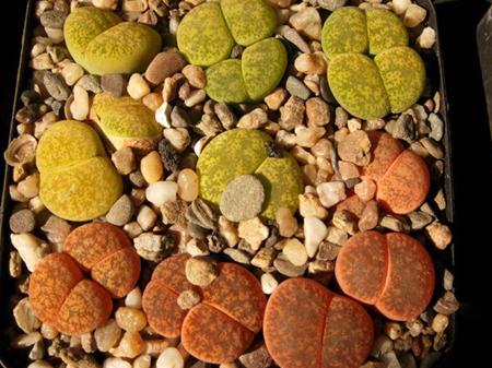 生石花跨属杂交系列品种