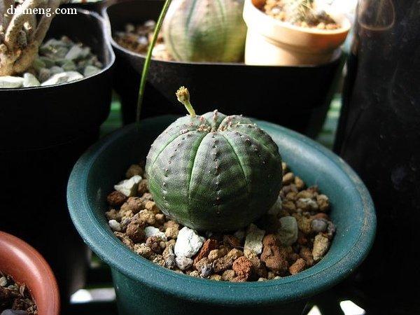 晃玉 Euphorbia obesa,大戟科
