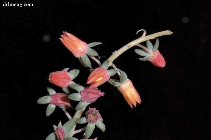 银明色 Echeveria carnicolor 花