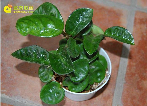 Hoya carnosa var.Krinkle(long leaf) 克林克长叶