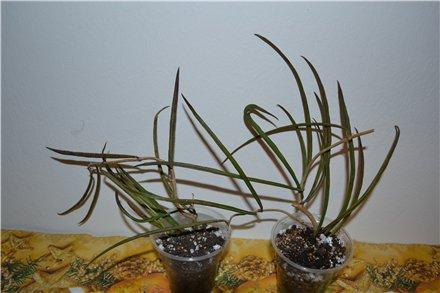 刺球兰 Hoya acicularis