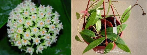 尖叶球兰 Hoya acuta 绿花