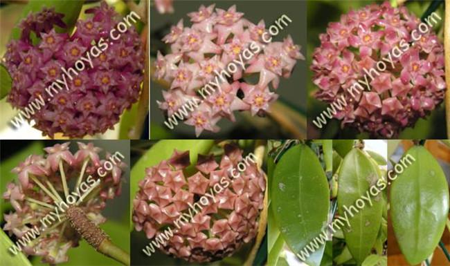 尖叶球兰 Hoya acuta 红花