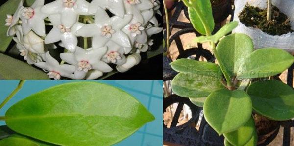 白花球兰 Hoya albiflora
