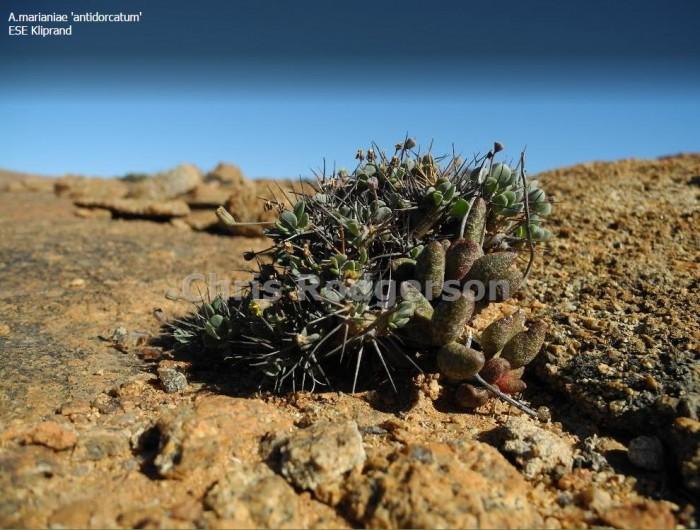 原生地的花鹿水泡 Adromischus antidorcatum