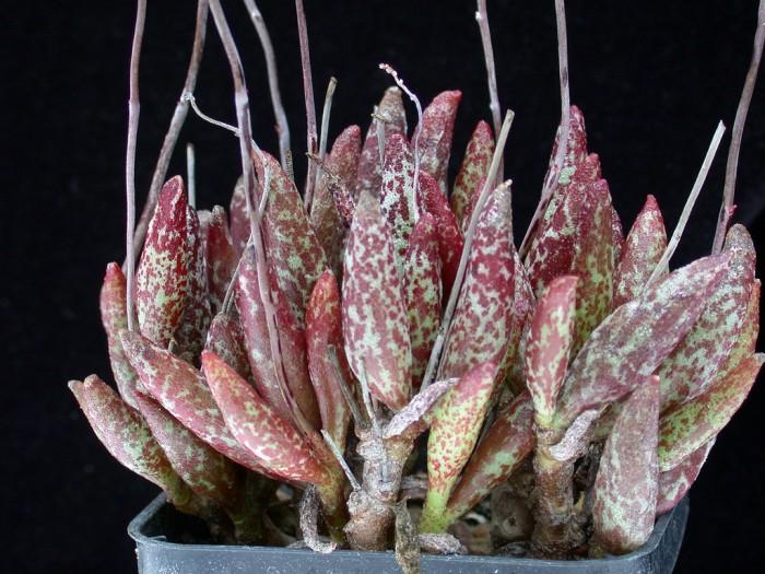 花鹿水泡 Adromischus antidorcatum