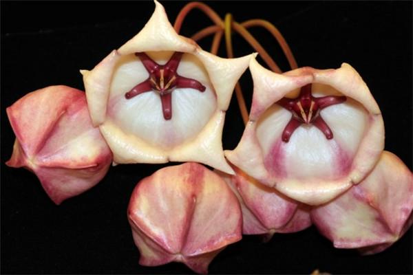 大花球兰粉 Hoya archboldiana