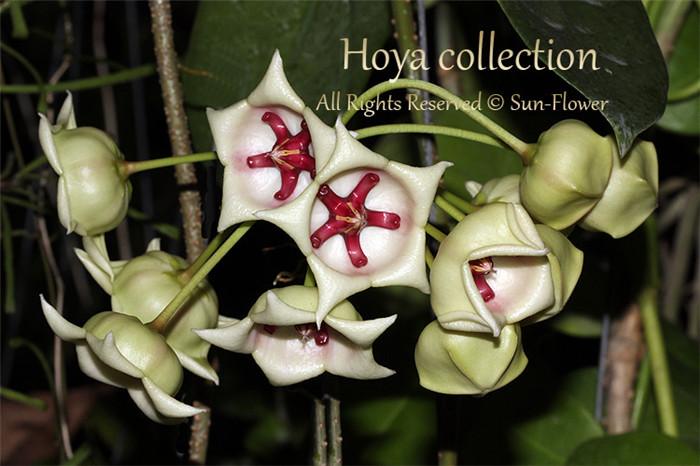 大花球兰白 Hoya archboldiana
