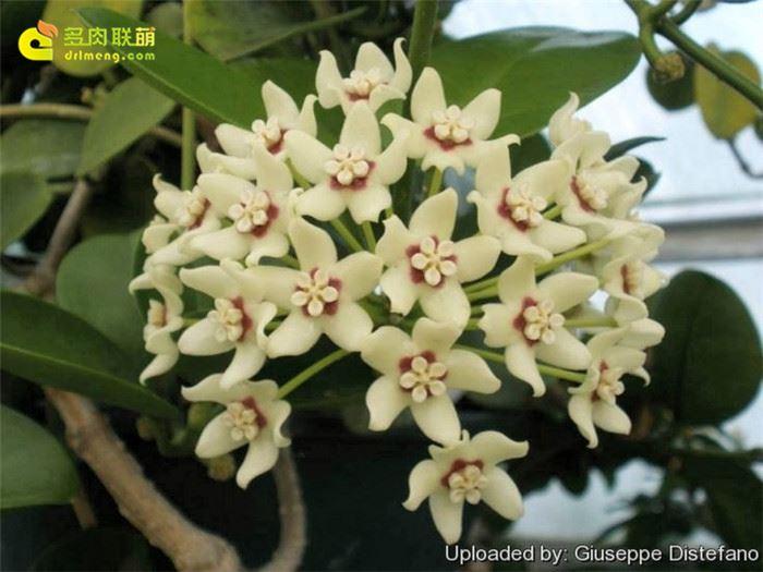 南方球兰 Hoya australis