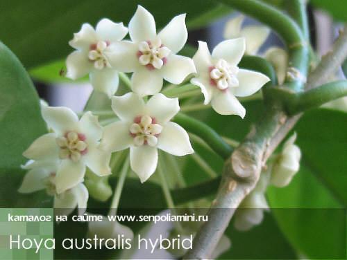 南方杂交 Hoya australis hybrids