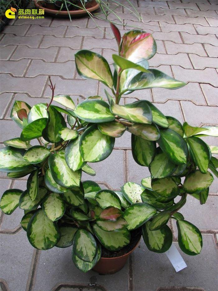南方内锦 Hoya australis variegata in/hoya australis lisa