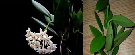 南方红花 Hoya australis rubicola