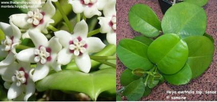 南方亚种 Hoya australis sanae