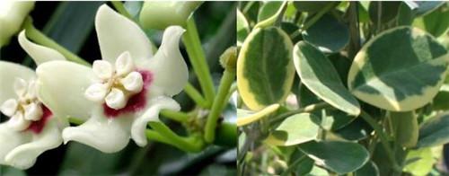 南方外锦 Hoya australis variegata out