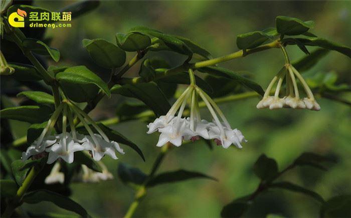 贝拉球兰 Hoya lanceolata ssp. bella